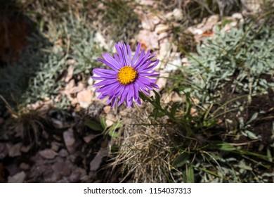 Single violet flower of perennial forb / Aster alpinus on the Sharr mountain on Kosovo