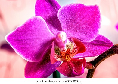Single violet orchid with water drops macro photography