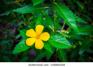 Single vivid yellow flower of West Indian Holly, Sage Rose, Yellow Alder (Turmera Ulmifolia) are blooming on shrub tree in the nature garden