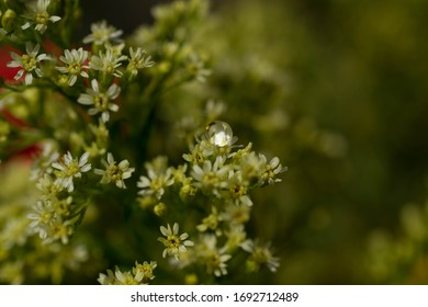 Single water droplet on small white flowers