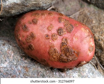Single wet red potato damaged by disease common scab or powdery scab close up.