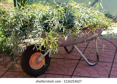 Single wheel wheelbarrow loaded with pruned willow branches in the sunny autumn garden
