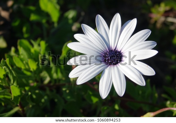 Single white african daisy flower head.