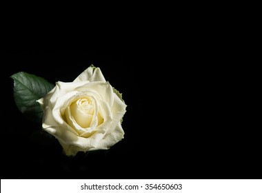 Single white blooming rose on a black background with space for text
