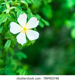 5 petal flower images stock photos vectors shutterstock single white blossom of wild rose bush against blurred green background wild flower blossom mightylinksfo