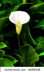 single white calla lily with many leave