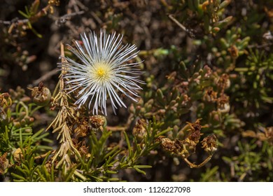 Single white carpobrotus flower
