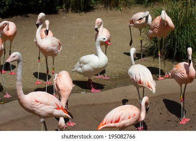 A single white cordoba swan stands with a flock of pink flamingos