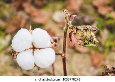 Single white cotton boll on limb