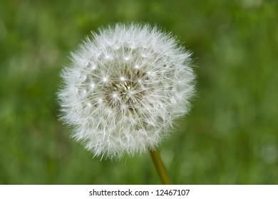 Single white dandelion