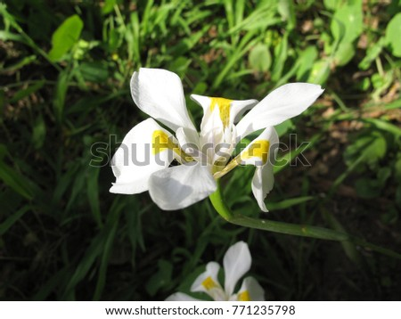 Single white flower dietes native south stock photo edit now single white flower of dietes native to south africa common name is wild iris mightylinksfo