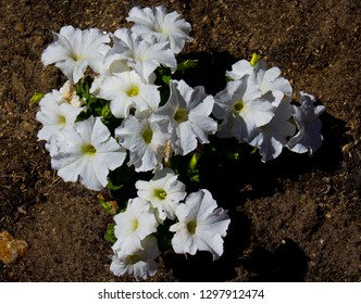 Single white  flowers of  annual  petunias family Solanaceae related to tobacco, cape gooseberries, tomatoes, deadly nightshades, potatoes and chili peppers  blooming in a massed garden bed .