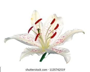 single white lily isolate on white background