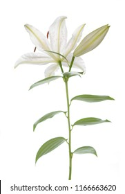 single white lily isolate on white background