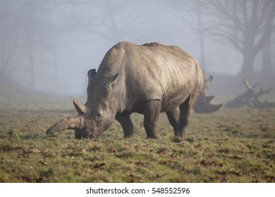 A single White Rhinoceros in a foggy meadow