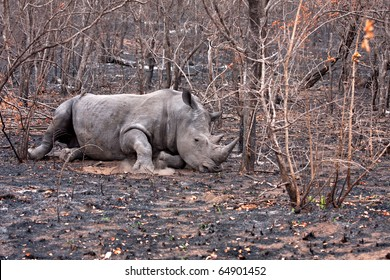single white rhinoceros in the Kruger National Park, South Africa, burn wounds sustained in wild fire, hurt,ill,lying down