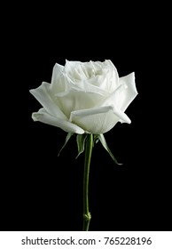 A single White Rose blossom isolated on Black background.