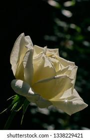 Single white rose flower against black background, Podlasie Region, Poland, Europe