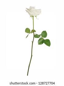 Single white rose, isolated on white