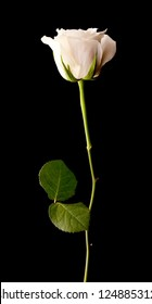Single white rose on a black background