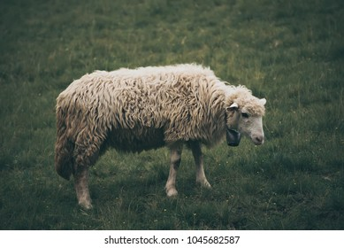 Single white sheep grazing at green meadow, natural agriculture background