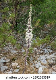 Single white squill, Drimia Urginea maritima also called sea squill or sea onion, beautiful wild flower at limestone rock and green bush background blooming at September in Sardinia Mediterranean