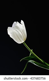 single white tulip on a black background located on a diagonal line. vertical image. space for text