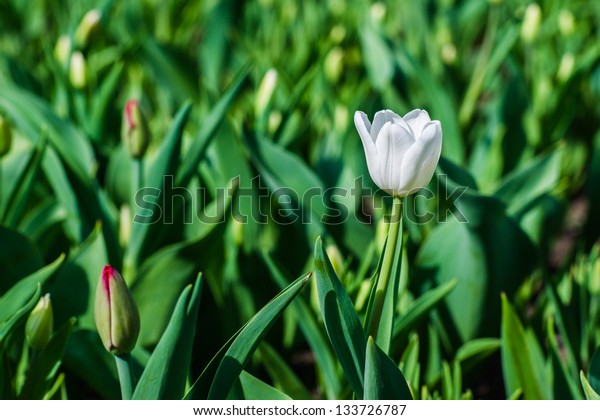 Single white tulip in spring against the background of green leaves and tulip buds