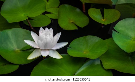A single white water lily blossom on a bed of green lily pads