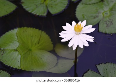 Single white Water Lily in a pond (selective focus)