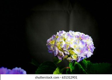 Single white yellow and purple Hydrangea in the black background