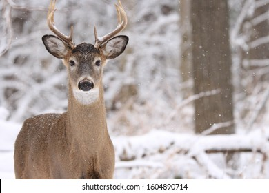 Single white-tailed deer buck in winter snow in Quebec, Canada.