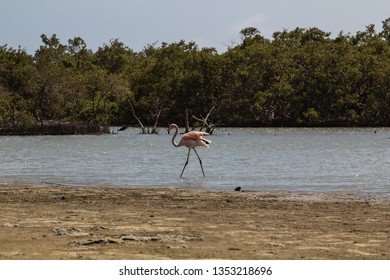 A single wild american Flamingo in the mangrove forest in Lac Bay in the southern part of the tropical island bonaire in the caribbean