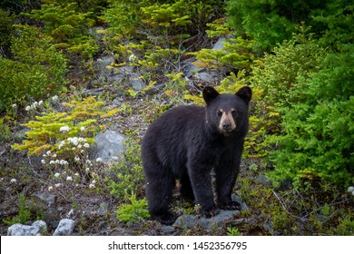 A single wild black bear cub searches for food along a hillside overturning rocks among young evergreen trees. The young bear is only a couple of months old. There are flies on its fur and face.