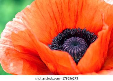 Single wild red corn poppy flower blossom