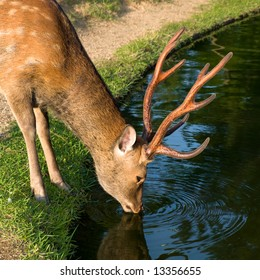 Single wild sika deer drinking water from a pond in Nara Park near Todai-ji temple in Nara, Japan. In Nara city over 1,200 wild deer roam freely around the parks and temples.