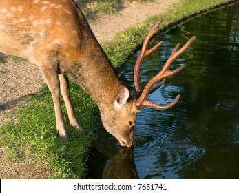 Single wild sika deer drinking water from a pond in Nara Park at Todai-ji temple in Nara, Japan. In Nara city over 1,200 wild deer roam freely around the parks and temples.