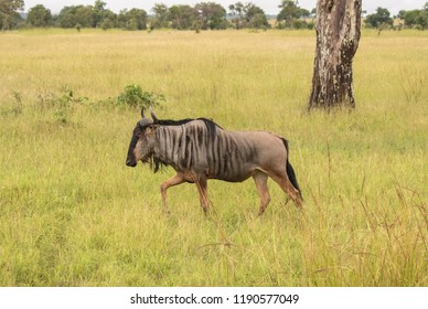 A single wildebeest out for a walk