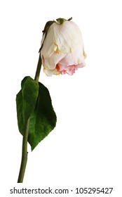 Single wilted  pale pink color rose with one leaf isolated on white background