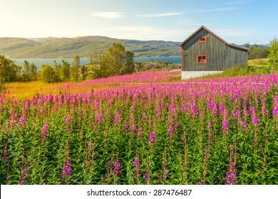 Single wooden scandinavian house in a summer flower field, Norway