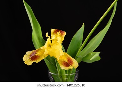 A single yellow bearded Iris with leaves isolated with a black background.