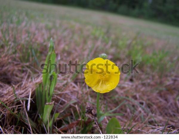 Single Yellow Buttercup in field