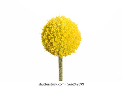 A single yellow craspedia flower isolated on white background.  The craspedia is in the daisy family commonly known as billy buttons, woollyheads, and also sunny balls.