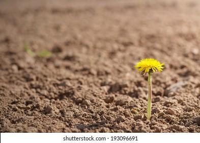 Single yellow dandelion on brown ground background