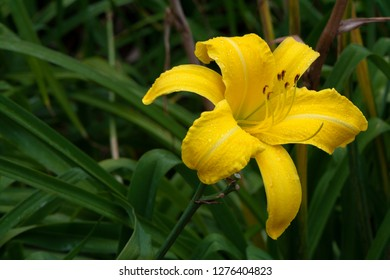 Single yellow Daylily (Hemerocallis Malaysia) in a natural garden setting, part of the Asphodelaceae family.