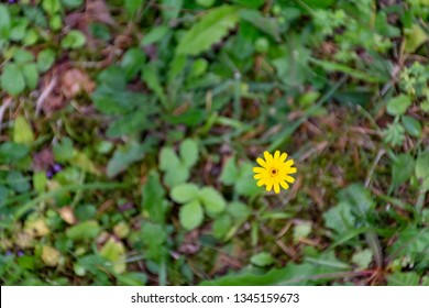 a single yellow field flower in uncultivated garden