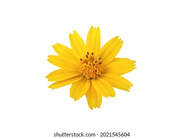 Single yellow flower blossom blooming isloated on white background for design or stockphoto, summer of flora, top viewl, chrysanthemum plants