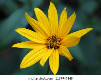 Single yellow flower with dark green blur background. Close-up of flower in the garden, view from above.
