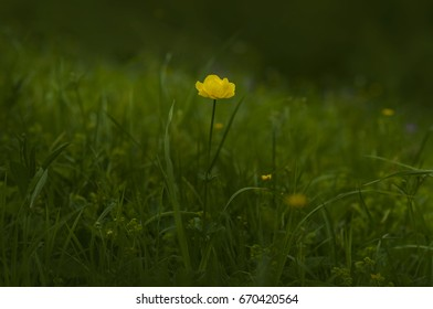 Single yellow flower on a dark green background. Globeflower  (Trollius europaeus)