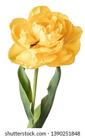 Single yellow full Parrot tulip isolated on white background